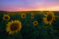 hills, rolling hills, spain, southwestern spain, andalucia, andalucian, sunset, sunflowers, sunflower, cadiz