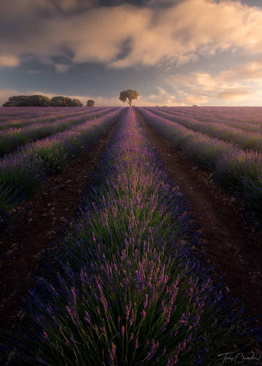 A lone tree catches first light of an early summer morning at the lavender fields of Brihuega.